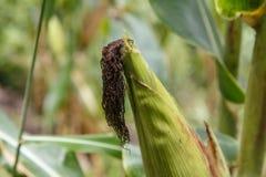 Détail d'épi de maïs de plantation Images libres de droits