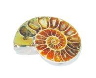 Détail d'ammonites fossilisées Photo stock