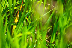 Détail d'herbe de prairie Photo libre de droits