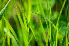 Détail d'herbe de prairie Photos libres de droits