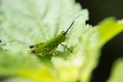 Détail d'insecte de sauterelle Photographie stock libre de droits