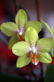 Détail d'orchidée verte Images libres de droits
