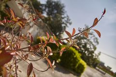 Détail d'un brin avec les feuilles rouges image stock
