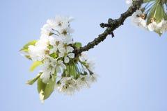 Détail d'un cerisier fleurissant photo stock