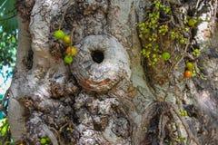 Détail d'un figuier noueux géant avec le fruit vert images stock