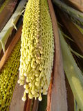 Détail d'un palmier dattier dans une fleur Photo stock