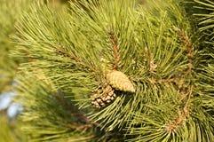Détail d'un pin Image libre de droits