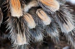Détail d'un tarantula noir et brun Images stock