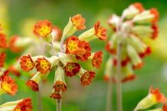 Détail d'une primevère fleurie rouge Veris ou de primevère Photo stock