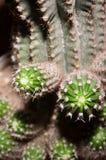 Détail d'usine de cactus Photos stock