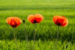 Détail de beau pavot de trois rouges Photographie stock