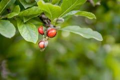 détail de branche d'usine de magnolia de jardin avec les fruits rouges Photos stock