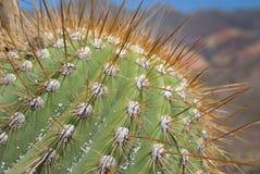 Détail de cactus avec de grandes épines Image stock