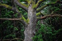 Détail de chêne majestueux dans la forêt Photo libre de droits