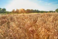 Détail de champ de blé Images libres de droits