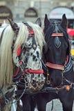 Détail de cheval foncé et noir et blanc Image libre de droits