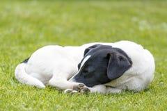 Détail de chien de sommeil sur l'herbe verte Images stock