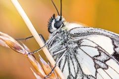 Détail de corps de papillon noir et blanc Photographie stock libre de droits