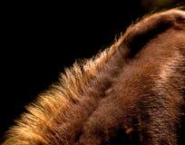 Détail de crinière sur le dos brun b/w de cheval photos libres de droits