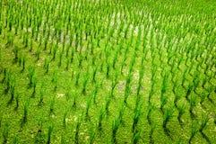 Détail de culture de plein champ verte de riz Photographie stock libre de droits