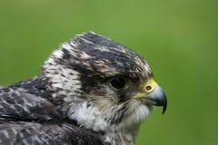 Détail de faucon pérégrin de vol Photos stock