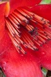 Détail de fleur de capoc Photos stock