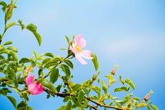 Détail de fleur de cynosbati de Fructus images stock