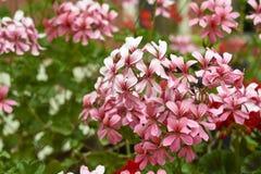 détail de fleur de géranium Photo libre de droits