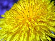 Détail de fleur de pissenlit Image stock