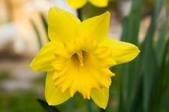 Détail de fleur jaune de jonquille Photographie stock libre de droits
