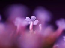 Détail de fleur pourprée Photo stock
