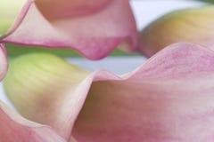 Détail de fleur rose Photographie stock