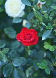 Détail de fleur de rose de rouge sur le fond vert dans la nature Images stock