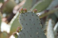 Détail de fruit de cactus d'opuntia Photo libre de droits