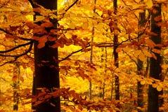 Détail de hêtre d'automne Images libres de droits