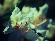 Détail de la fleur blanche de fleur d'azalée Floraison gentille de l'azalée Images stock