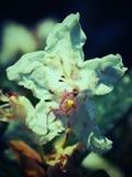 Détail de la fleur blanche de fleur d'azalée Floraison gentille de l'azalée Photos stock