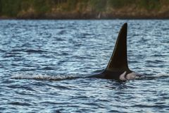 Détail de la queue de l'orque au-dessus de la surface de l'eau, Juneau, Alaska Photos stock