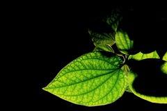 Détail de leafbush de bétel ou de roxb sauvage de sarmentosum de joueur de pipeau dans le noir Photographie stock
