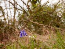 Détail de macro de wildflower de jacinthes des bois Le non-scripta ou la jacinthe des bois de Hyacinthoides est une belle horticu Photographie stock libre de droits