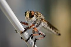 Détail de mouche de tueur avec clairement le fond photos libres de droits