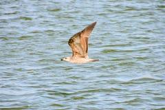 Détail de mouette d'harengs européenne par la mer Photographie stock