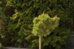 Détail de petit arbre Photo libre de droits