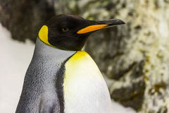 Détail de pingouin avec la tête noire, bec orange Photographie stock