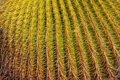 Détail de plan rapproché de cactus de baril image libre de droits