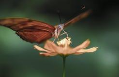Détail de pollination de macro de fleur de papillon Images libres de droits