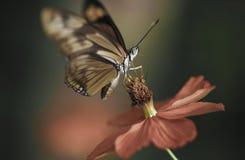 Détail de pollination de macro de fleur de papillon Image stock
