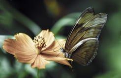 Détail de pollination de macro de fleur de papillon Image libre de droits