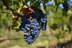 Détail de raisins de vin rouge Images libres de droits