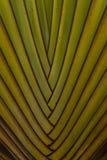 Détail de Strelitzia alba ou de Strelitzia Nicolai Photos libres de droits